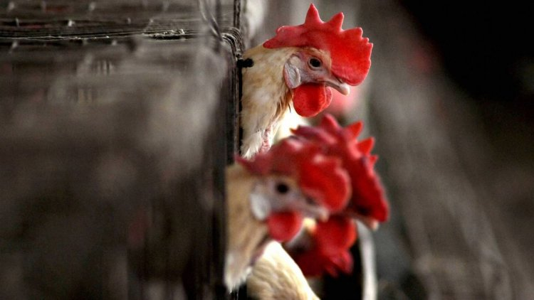 7 States Have Confirmed Bird Flu; Here's What You Need to Know - The Quint