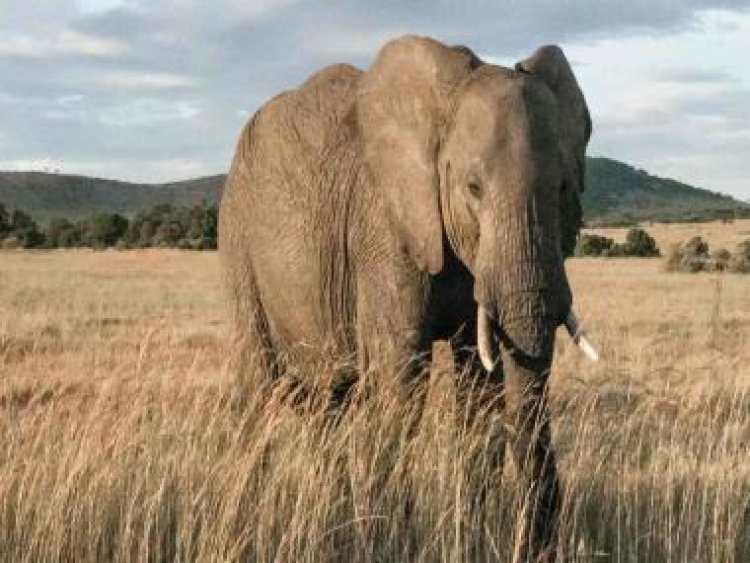 Satellite images to assist in elephant conservation efforts in Africa