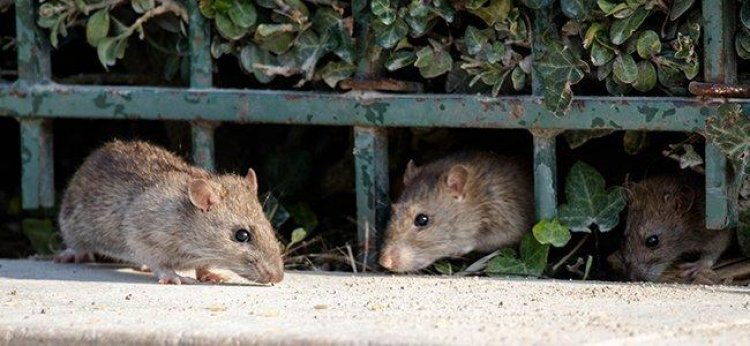 The Best Way To Deal With Rats On Your Maryland Property
